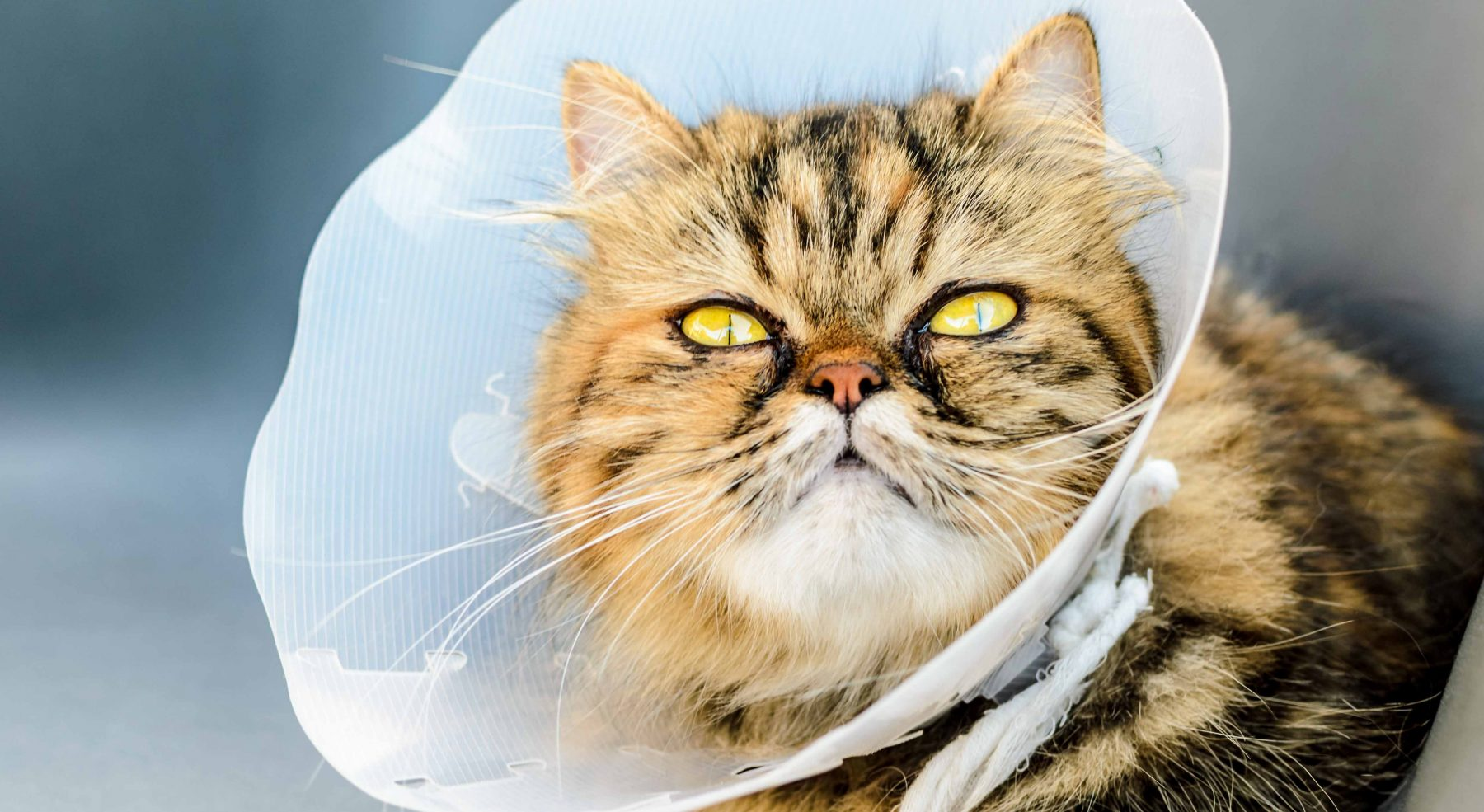 Cat Spaying & Neutering Services