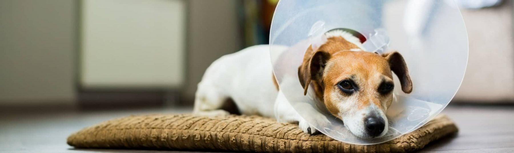 Dog Spaying Services