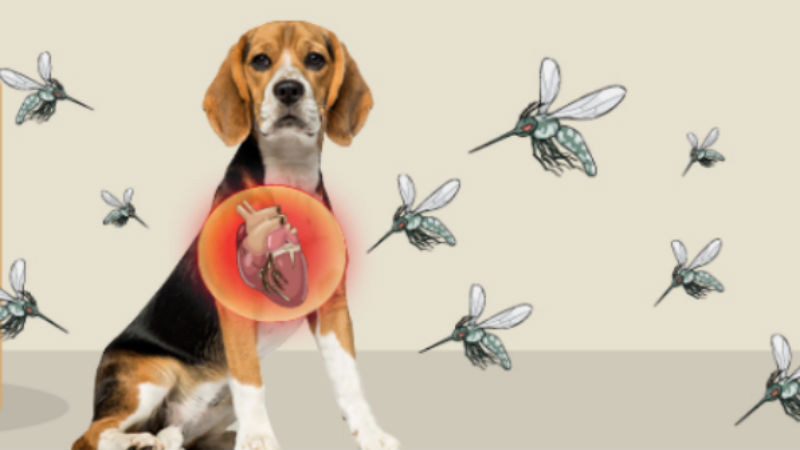 How Do Dogs Get Heartworm
