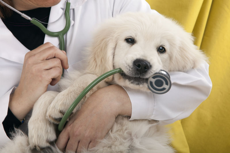 Veterinarian holding puppy biting a stethoscope